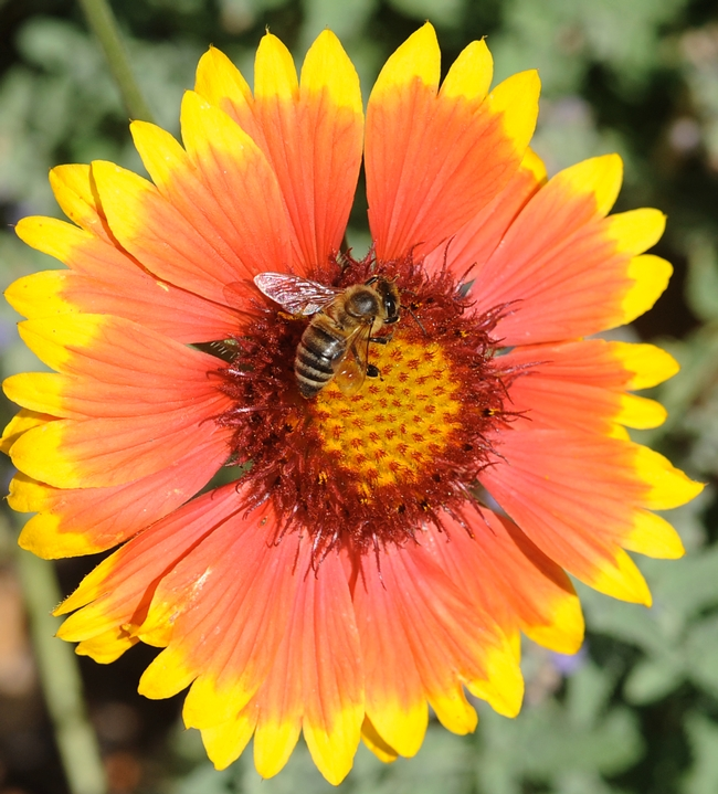 Honey bee on gallardia. (Photo by Kathy Keatley Garvey)