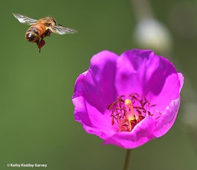 A honey bee exits a rock purslane, Calandrinia grandiflora. Today is World Bee Day. (Photo by Kathy Keatley Garvey)