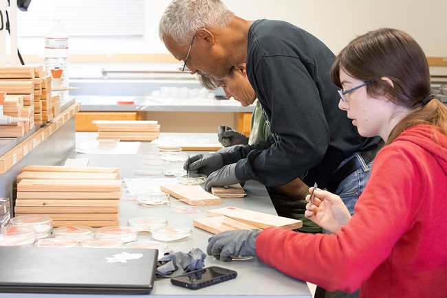 In this 2018 image, entomologist Vernard Lewis shows staff research associates how to insert termites into wood blocks. The project involved placing the wood blocks in a house to see if heat and wintergreen oil will kill termites. In front is Casey Hubble of UC Cooperative Extension, Contra Costa County, and in back is Kathleen Campbell of UC Riverside. (UC ANR Photo by Evett Kilmartin)