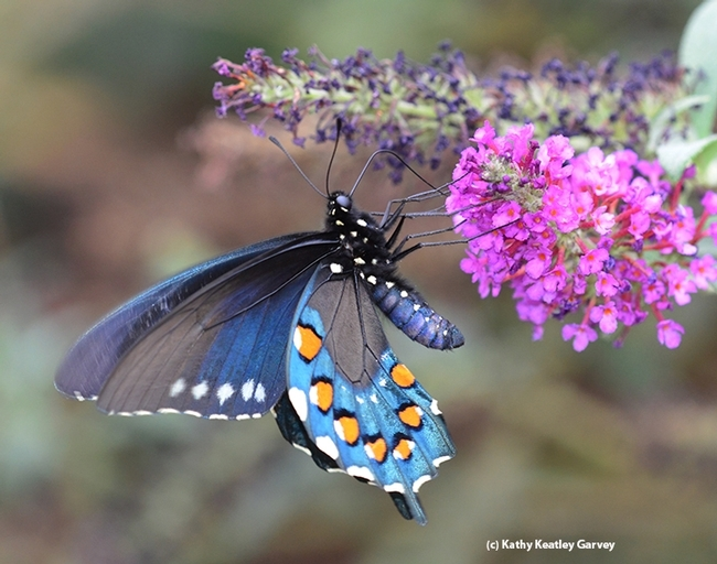 A Pipevine Swallowtail nectaring on a butterfly bush in Vacaville, Calif. (Photo by Kathy Keatley Garvey)