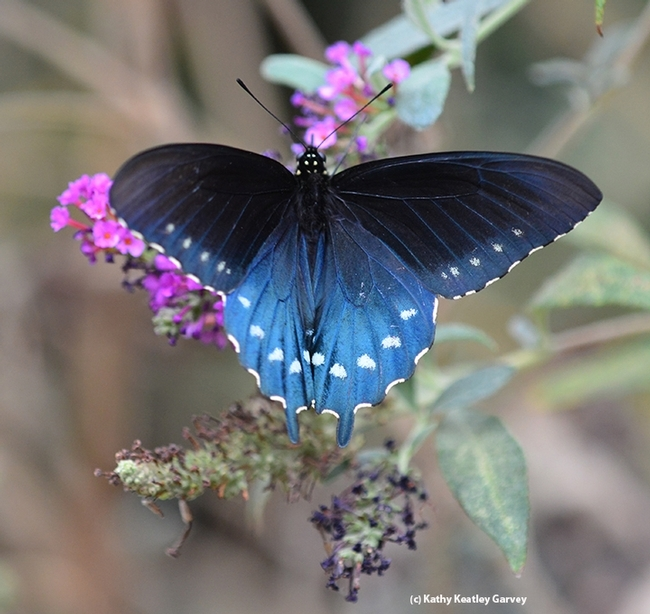 A male Pipevine Swallowtail spreads its wings in Vacaville, Calif. (Photo by Kathy Keatley Garvey)