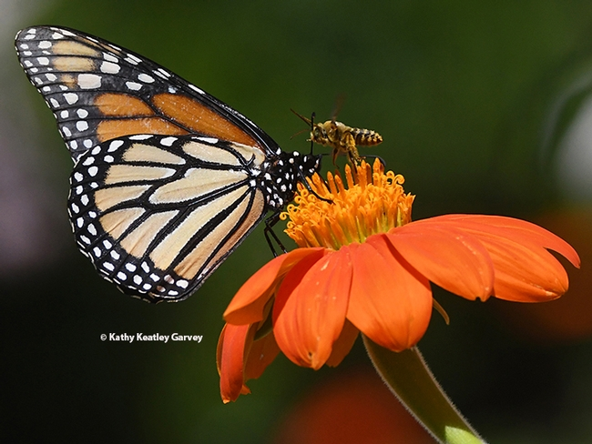 A territorial bee, a male Melissodes agilis, confronts  a monarch butterfly in a Vacaville, Calif. pollinator garden. The prize relinquished: a Mexican sunflower, Tithonia rotundifola. (Photo by Kathy Keatley Garvey)