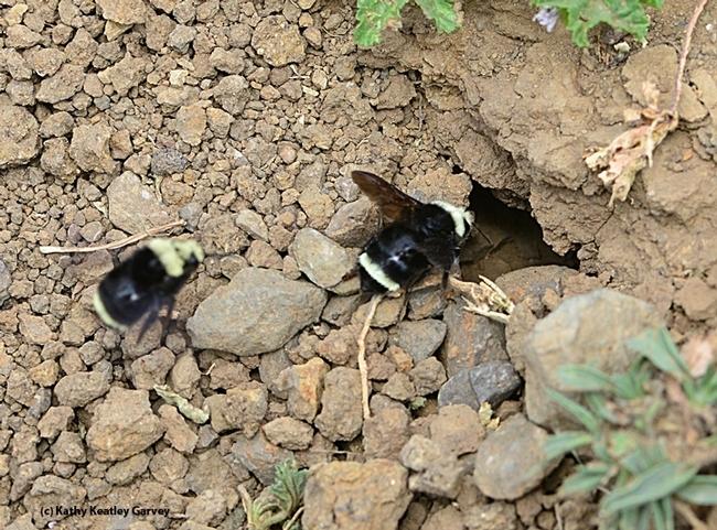 Bumble bees, Bombus vosnesenkii, head for their nest at the Loma Vista Farm, Vallejo. (Photo by Kathy Keatley Garvey)