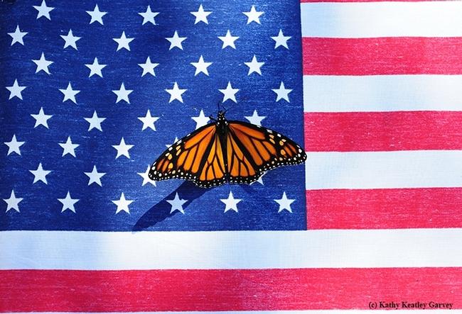A monarch butterfly, Danaus plexippus, flutters on the American flag. (Photo by Kathy Keatley Garvey)