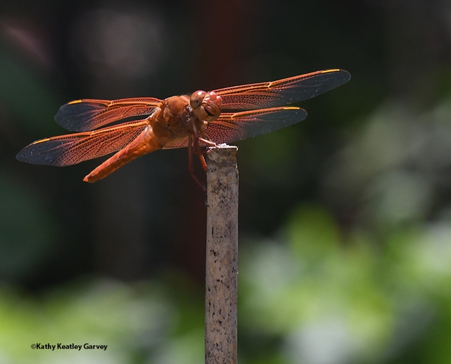 The male flameskimmer dragonfly (Libellula saturata) is firecracker red. (Photo by Kathy Keatley Garvey)