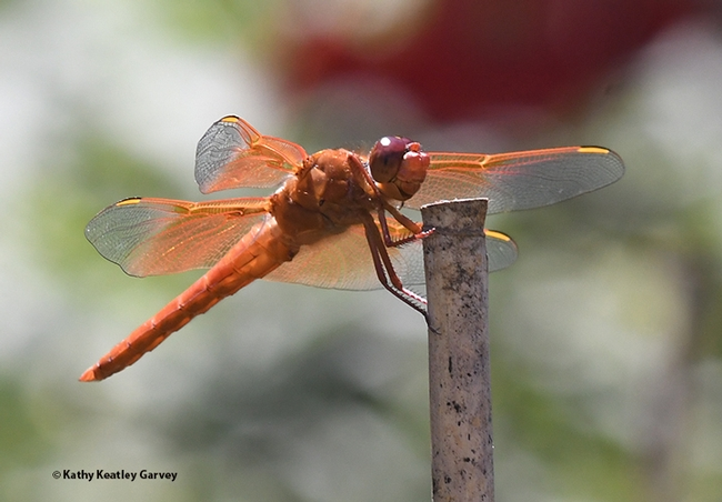 A different angle, but the same gorgeous flameskimmer. (Photo by Kathy Keatley Garvey)