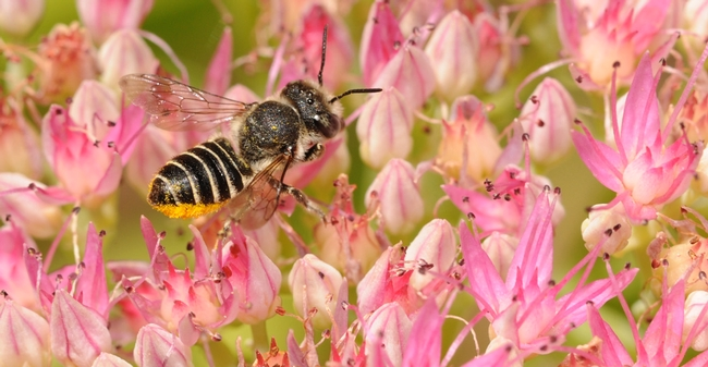 Leafcutting bee on sedum. (Photo by Kathy Keatley Garvey)