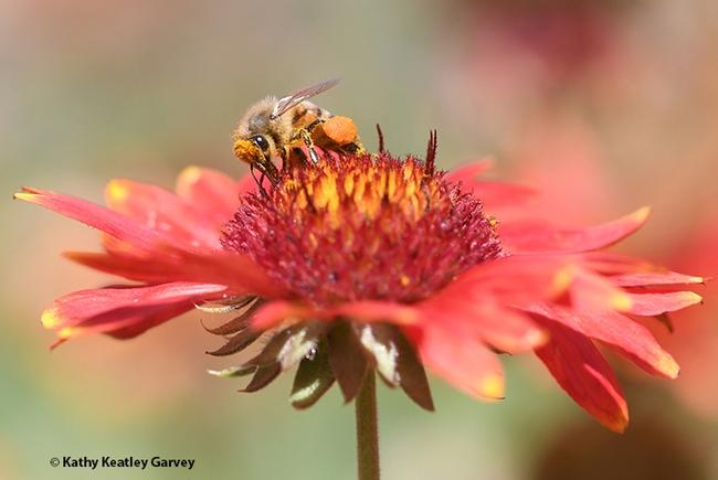 Peek-a-bee! A honey bee, blanketed with pollen, forages on a blanket flower, Gaillardia. (Photo by Kathy Keatley Garvey)