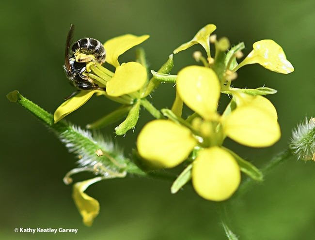 A sweat bee, Halictus tripartitus, twists as it forages on mustard in Vacaville, Calif. (Photo by Kathy Keatley Garvey)