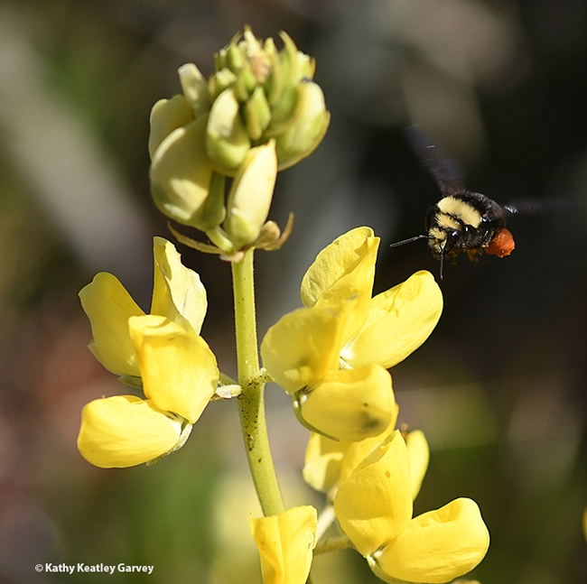 Packing red pollen from lupine, Lupinus arboreus, a yellow-faced bumble bee, Bombus vosnesenskii, heads toward more blossoms at Doran Regional Park, Bodega Bay. (Photo by Kathy Keatley Garvey)