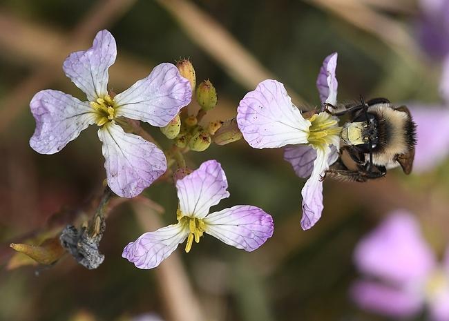 A digger bee nectaring on a wild radish at Bodega Head. (Photo by Kathy Keatley Garvey)