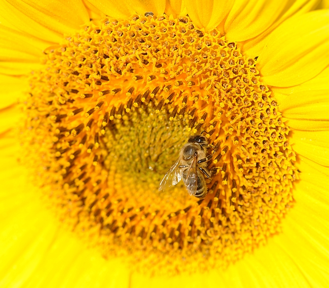 Honey bee foraging on sunflower in a field off Pedrick Road, Dixon. (Photo by Kathy Keatley Garvey)