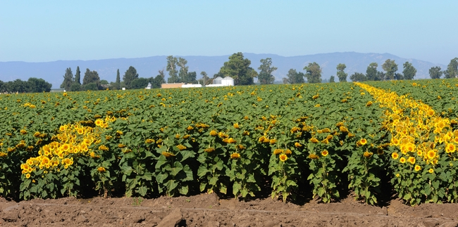 Dixon, Calif. farmland ablaze with sunflowers. (Photo by Kathy Keatley Garvey)