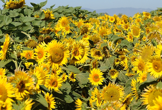 Close-up of sunflowers. Just add bees. (Photo by Kathy Keatley Garvey)
