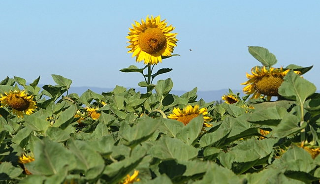 Head's up! A lone sunflower head towers above the field as bees buzz toward to it. (Photo by Kathy Keatley Garvey)