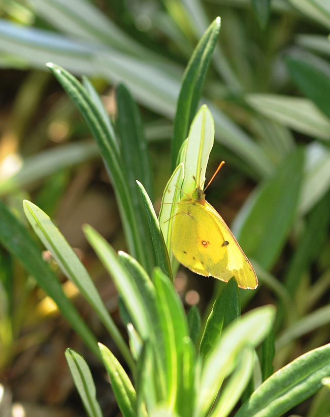 Yellow sulphur butterfly ready for take-off. (Photo by Kathy Keatley Garvey)