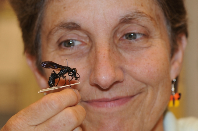 Entomologist Lynn Kimsey with her newly discovered species of wasp; this is a male. (Photo by Kathy Keatley Garvey)