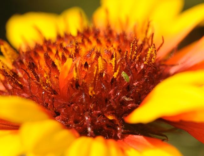 Green aphid on Gaillardia. (Photo by Kathy Keatley Garvey)