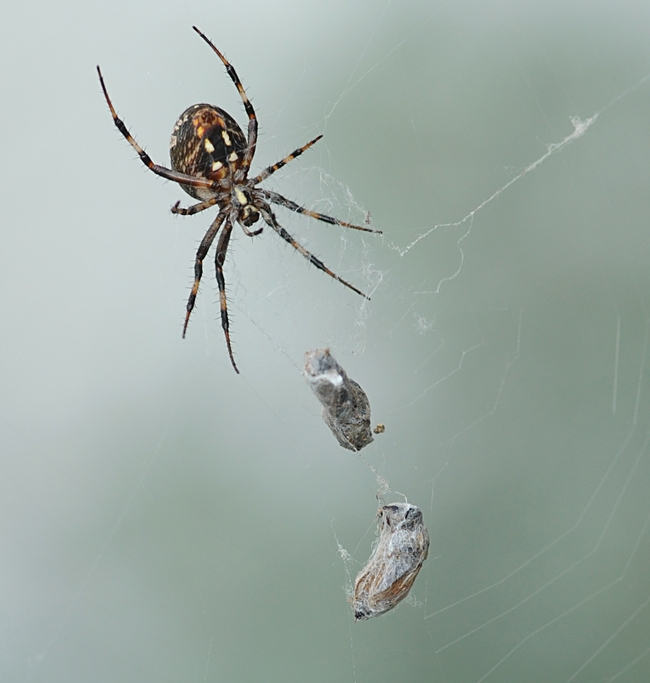 Mama spider snares two in one web. (Photo by Kathy Keatley Garvey)