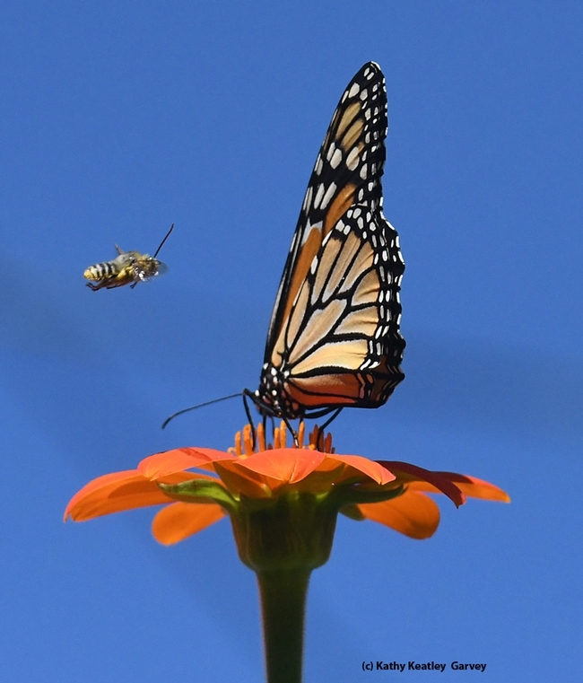 A male longhorned bee, Melissodes agilis, targets a monarch butterfly on a Mexican sunflower in Vacaville, Calif. (Photo by Kathy Keatley Garvey)
