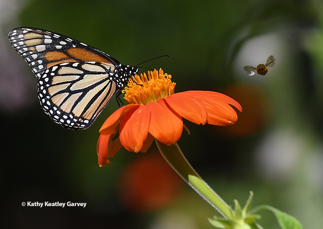 A silhouette of a longhorned bee, Melissodes agilis, is visible as it approaches a monarch butterfly on a Mexican sunflower in Vacaville, Calif. (Photo by Kathy Keatley Garvey)