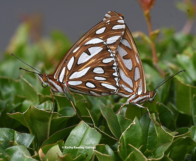 This is the first in a series of images of Gulf Fritillaries that won a bronze award in the ACE competition. (Photo by Kathy Keatley Garvey)