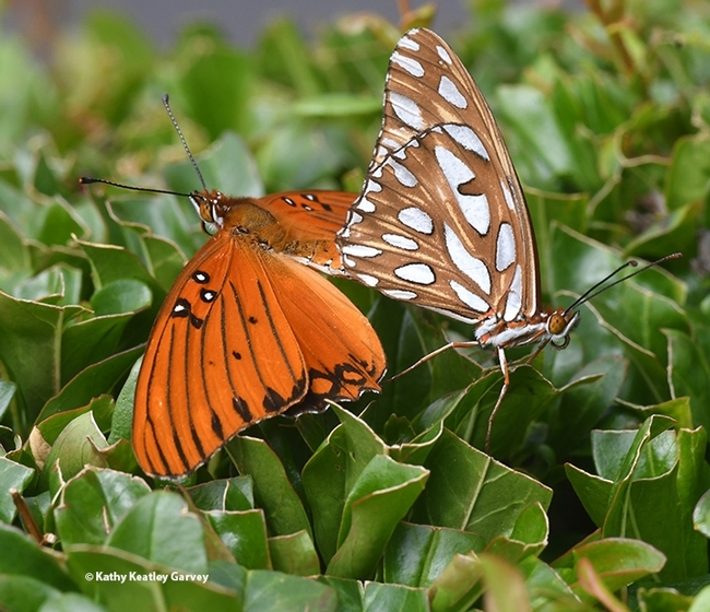 This is the third in a series of images of Gulf Fritillaries that won a bronze award in the ACE competition. (Photo by Kathy Keatley Garvey)