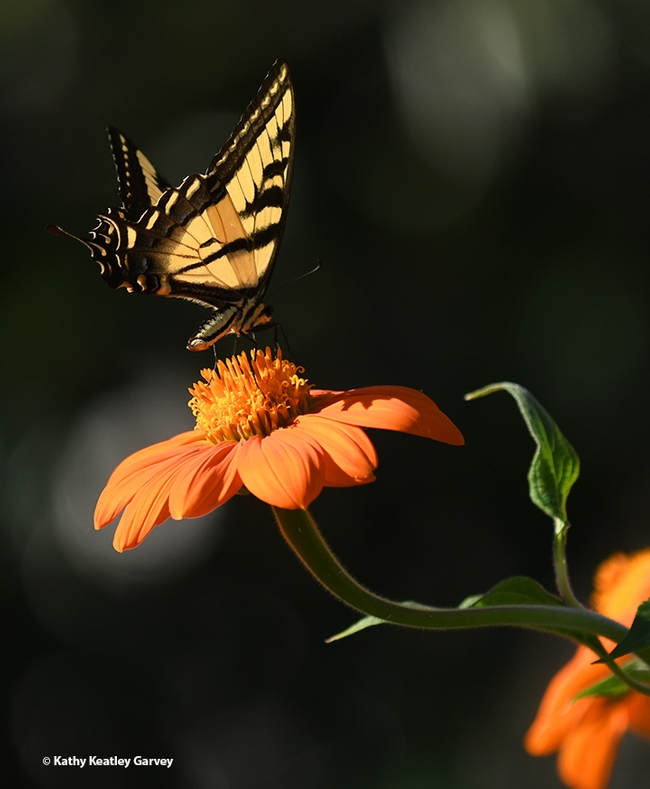 Alarmed that it's a target, the Western tiger swallowtail rises. (Photo by Kathy Keatley Garvey)