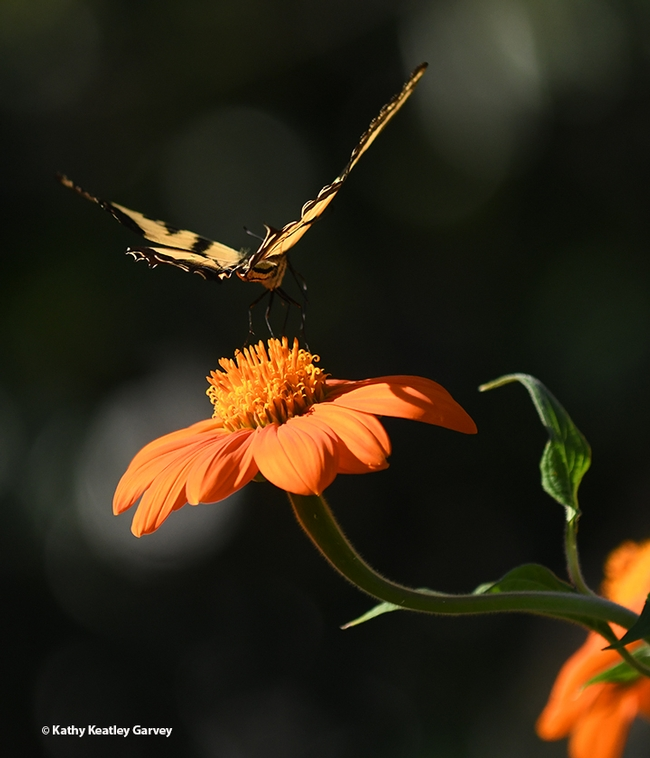 In a flash, the Western tiger swallowtail rapidly leaves its perch. (Photo by Kathy Keatley Garvey)