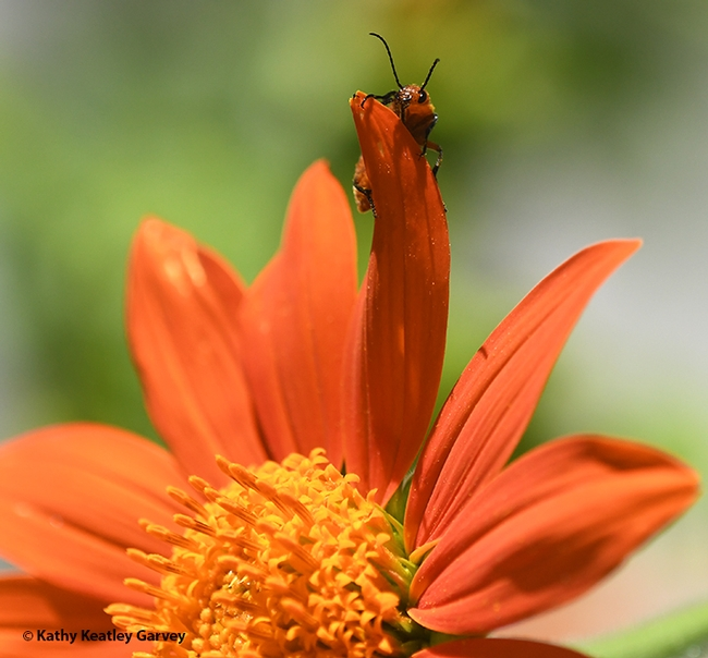 The blister beetle peers over a petal of a Mexican sunflower (Tithonia rotundifola) in Vacaville. (Photo by Kathy Keatley Garvey)