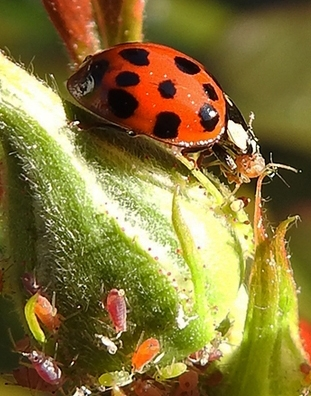 Lady beetles, aka ladybugs, are pollinators. These beneficial insects are known for eating scores of aphids. (Photo by Kathy Keatley Garvey)