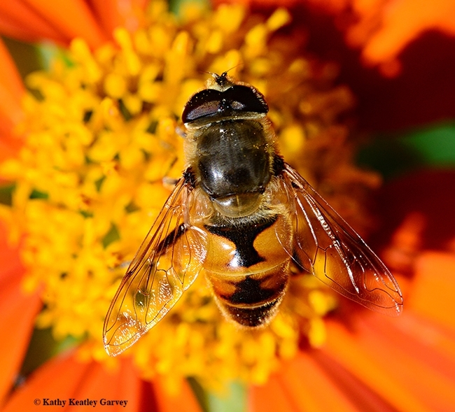 This drone fly (Eristalis tenax) is often mistaken for a honey bee. (Photo by Kathy Keatley Garvey)