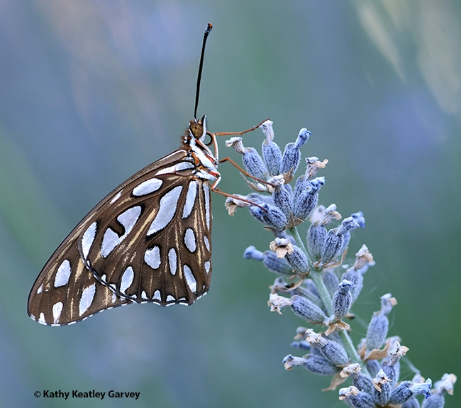 It's early morning, and a newly eclosed Gulf Fritillary, Agraulis vanillae, perches on lavender in Vacaville, Calif. (Photo by Kathy Keatley Garvey)
