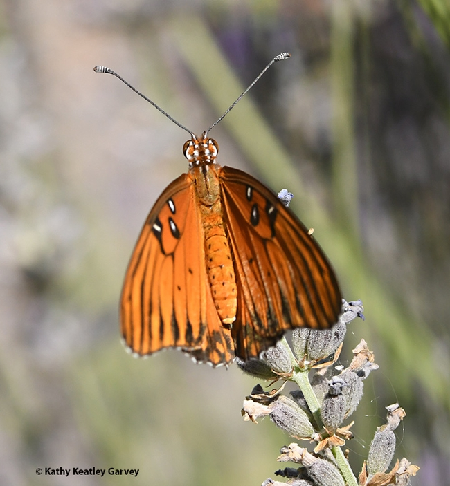 As the sun warms her wings, the Gulf Fritillary unfolds them gingerly.  (Photo by Kathy Keatley Garvey)