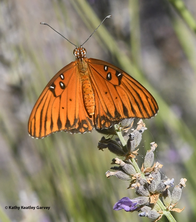 The Gulf Fritillary spreads her wings and prepares for take-off as honey bees arrive to forage on the lavender. (Photo by Kathy Keatley Garvey)