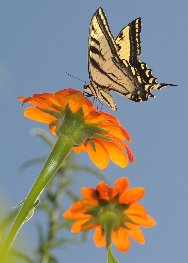 Western tiger swallowtail nectaring Mexican sunflowers. (Photo by Kathy Keatley Garvey)