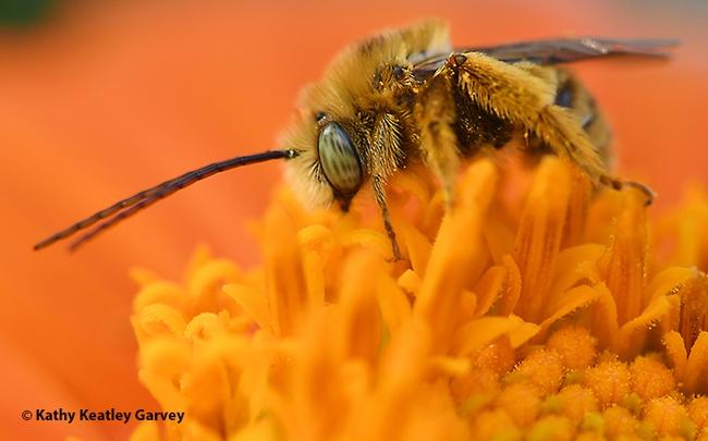 Good morning! A longhorned male bee, Melissodes agilis, begins to move. (Photo by Kathy Keatley Garvey)