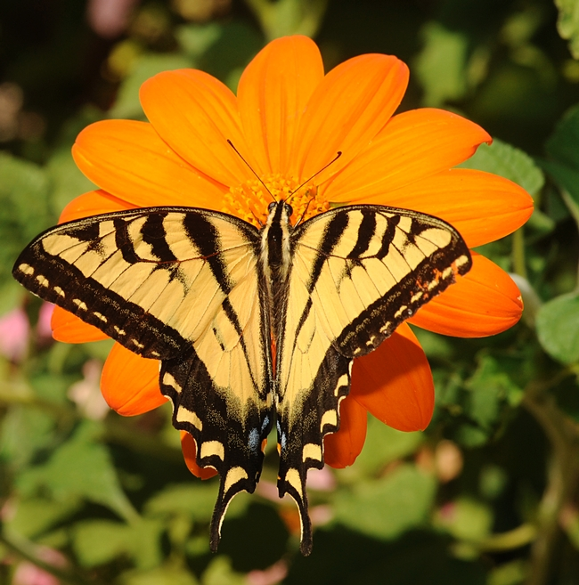 Western tiger swallowtail atop a Mexican sunflower. (Photo by Kathy Keatley Garvey)
