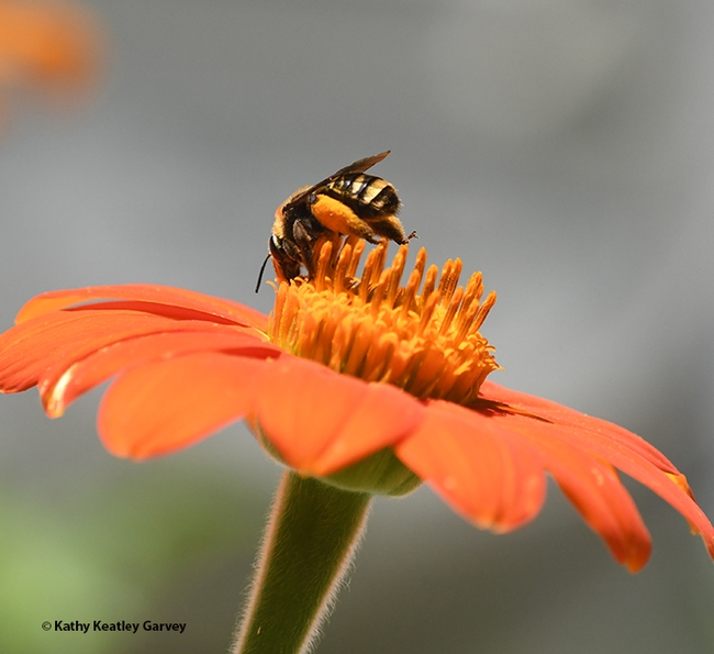 A female sunflower bee, Svastra obliqua expurgata, forages on a Mexican sunflower, Tithonia rotundifola, in Vacaville, Calif. (Photo by Kathy Keatley Garvey)