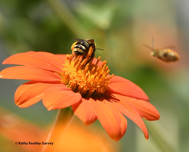 A bullet of a bee is heading toward the foraging sunflower bee. He means business. (Photo by Kathy Keatley Garvey)