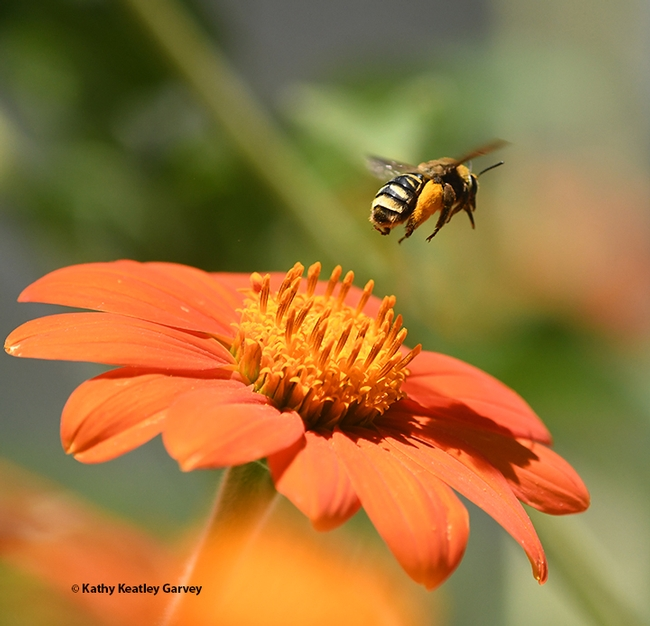 I'm outta here! The sunflower bee, Svastra obliqua expurgata, quickly departs for another blossom. (Photo by Kathy Keatley Garvey)