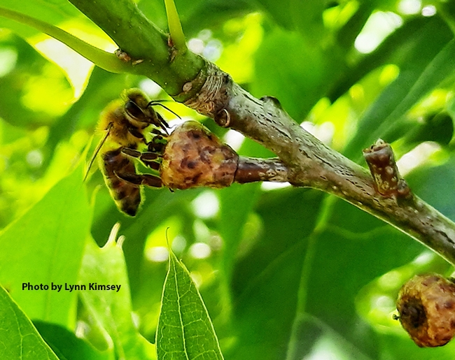 Honey bee licking a baby acorn. (Photo by Lynn Kimsey)