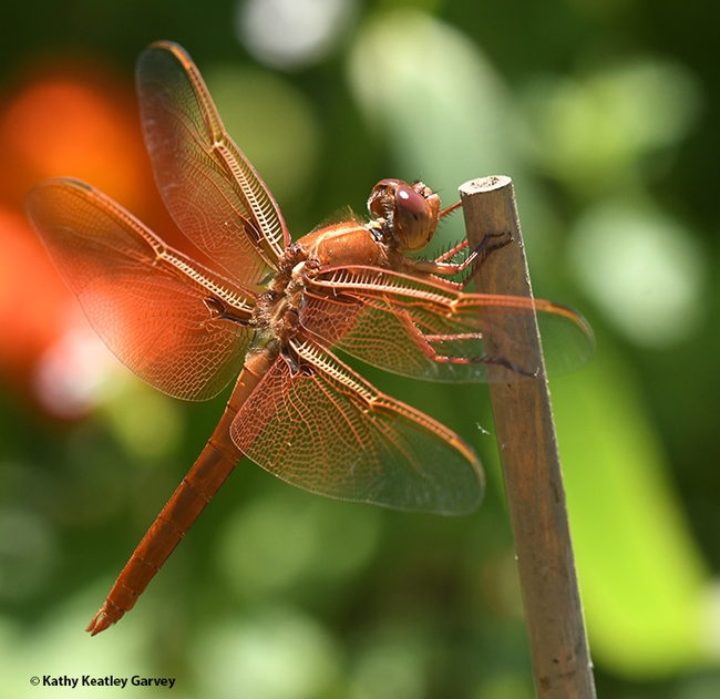 A male flameskimmer, Libellula saturata, perches on a bamboo stake in a Vacaville garden. In back is a Mexican sunflower, Tithonia rotundifola. (Photo by Kathy Keatley Garvey)
