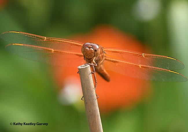 Looking like a biplane, a male flameskimmer, Libellula saturata, peers at the photographer. (Photo by Kathy Keatley Garvey)