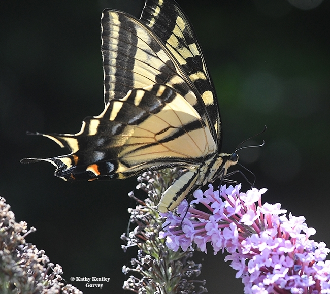 In her book, author Rosemary Mosco includes a Giant Swallowtail, found in eastern and southwestern North America. This one is a Western Tiger Swallowtail, Papilio rutulus. This image was taken in Vacaville, Calif. (Photo by Kathy Keatley Garvey)