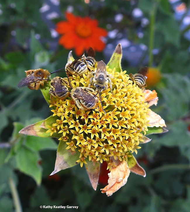 The Lucky Seven: seven male Melissodes agilis bees sleeping on a spent Mexican sunflower, Tithonia rotundifola, in a Vacaville pollinator garden. (Photo by Kathy Keatley Garvey)