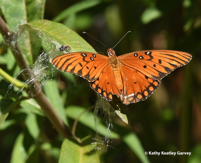 The Gulf Fritillary spreads her wings and is gone. (Photo by Kathy Keatley Garvey)