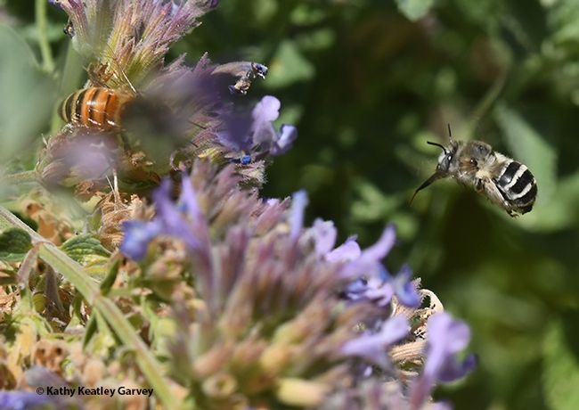 A digger bee, Anthophora urbana in flight, as it heads for another catmint blossom. (Photo by Kathy Keatley Garvey)