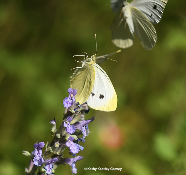 Hello, there! Two cabbage white butterfly, Pieris rapae, meet on  catmint (Nepata) in a Vacaville, Calif. pollinator yard. (Photo by Kathy Keatley Garvey)