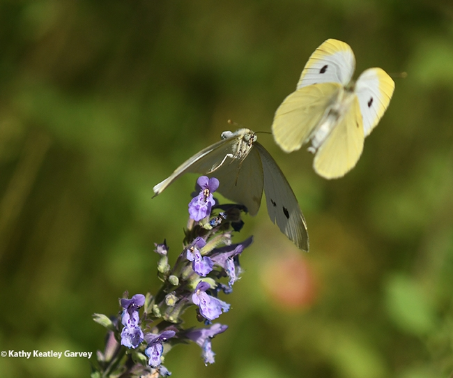 Look at me! A male cabbage white butterfly tries to draw the attention of a female. (Photo by Kathy Keatley Garvey)
